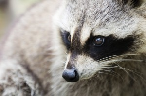 "<span style=""color: #999999;""><em>Raccoons are one of many animals that LOVE Chimneys!</em></span>"