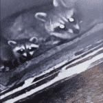 Raccoons Stuck in Chimney