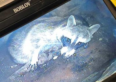 Racoon Trapped in Chimney on Camera