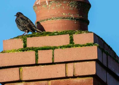 birds are common chimney problems