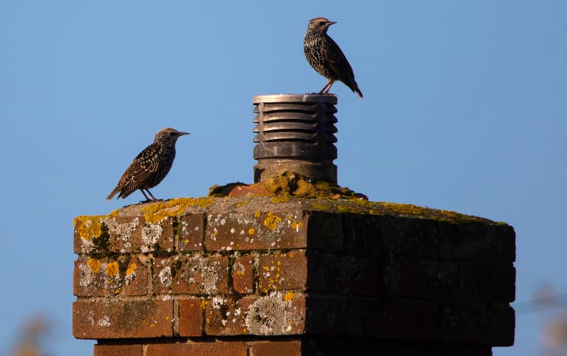 How to Prevent Birds in Chimney