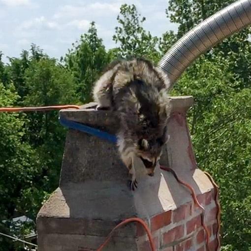 Raccoon leaving chimney flue