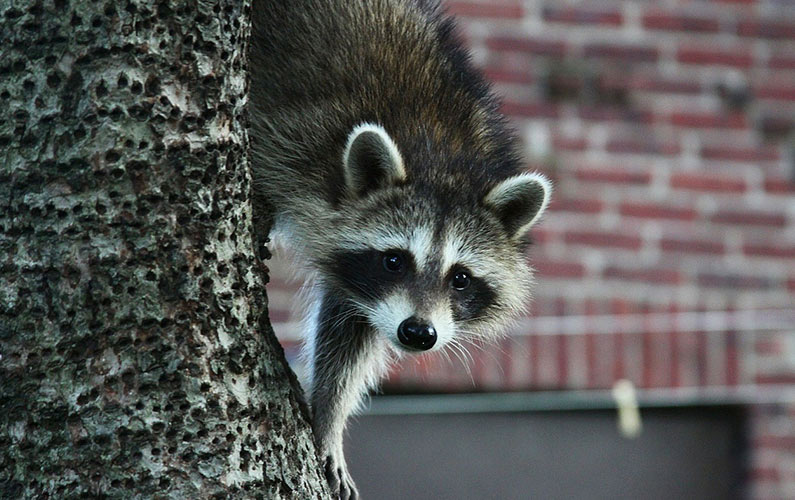 Raccoons in Chimneys and Fireplaces